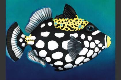 Photo of: Clifford The Big Clown Trigger Fish